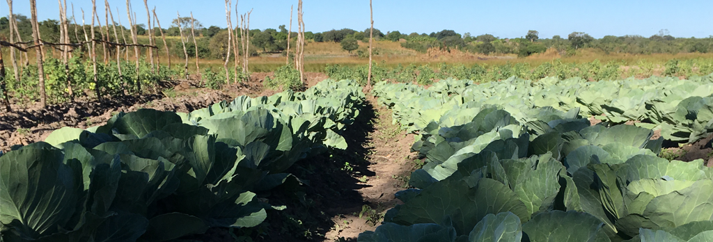 Andrew-hybrid-cabbage-seedlings-planted-in-Zambia