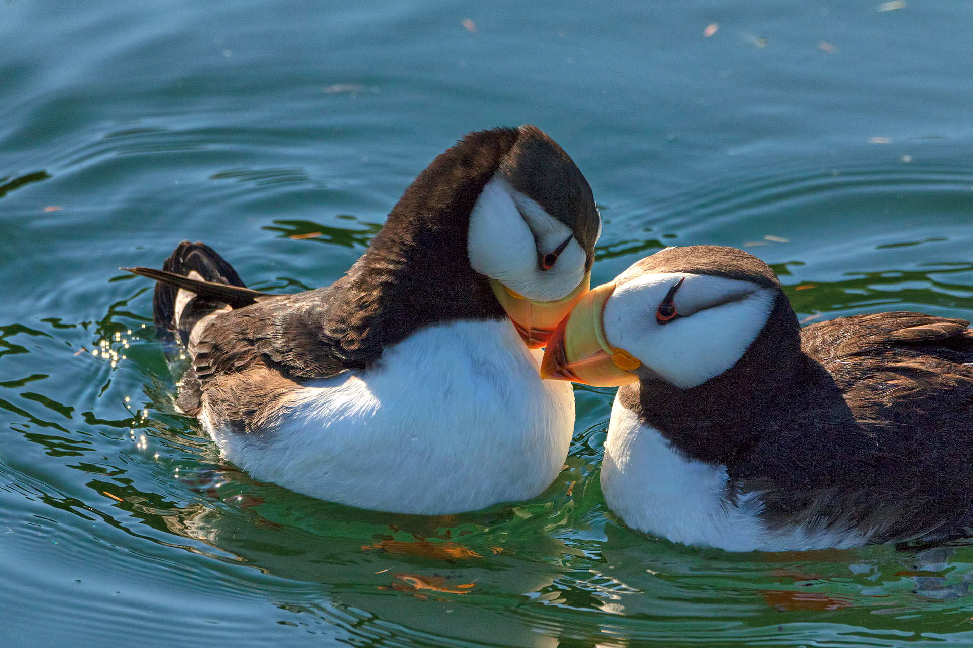 KW2A8967-puffin-love